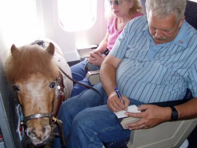 अमेरिका  राज्यों का कहना है कि एयरलाइनों को लघु घोड़ों को सेवा जानवरों के रूप में उड़ने की अनुमति देनी चाहिए