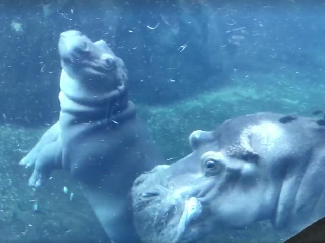 Sabato Night Social: Fiona l'Hippo è 500 sterline!