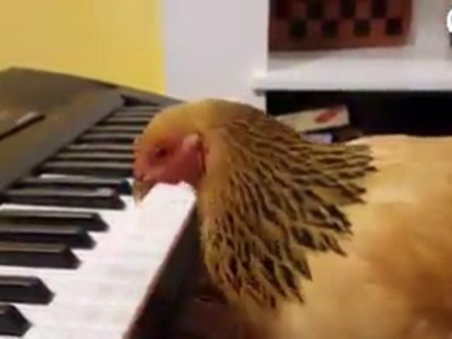 Chicken Plays Piano.