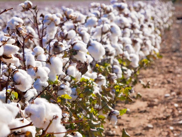 """<a href=""""https://thetakeout.com/usda-approves-edible-gmo-cotton-texas-am-1829816233"""" data-id="""""""" onClick=""""window.ga('send', 'event', 'Permalink page click', 'Permalink page click - post header', 'standard');"""">USDA approves edible cotton, which apparently tastes like hummus<em></em></a>"""