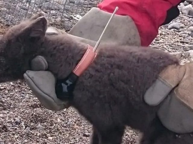 Dieser Fuchs hat es geschafft, in nur 76 Tagen von Norwegen nach Kanada zu reisen: eine epische Reise von 3.500 Kilometern