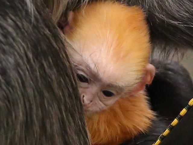 Knoxville Hayvanat Bahçesi Noel için Bebek Maymun Sürpriz Alır