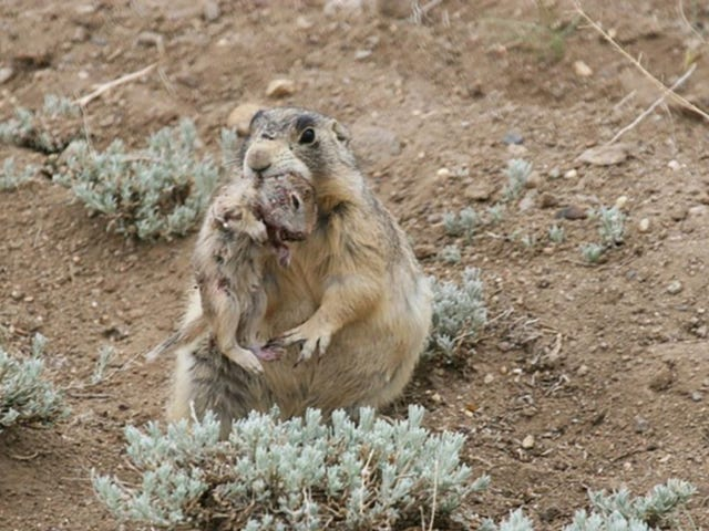 """<a href=https://projectearth.us/prairie-dogs-just-ruined-their-reputation-as-cute-frie-1796423773&xid=17259,15700021,15700186,15700191,15700248 data-id="""""""" onclick=""""window.ga('send', 'event', 'Permalink page click', 'Permalink page click - post header', 'standard');"""">プレーリードッグは、かわいい、フレンドリーな生き物として彼らの評判を台無しにしました</a>"""