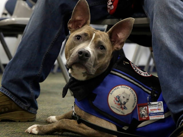 Pit Bulls Are Allowed to Fly Delta Again