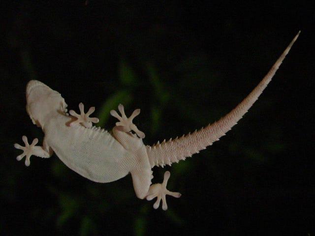 Un hombre muere en Australia 10 dages desperate de comerse un lagarto por una apuesta en una fiesta
