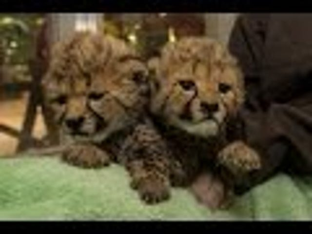 Let These Adorable Newborn Cheetahs Heal Your Wounded Soul