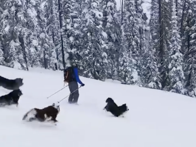 The Sports Highlight Of The Day Is These Noble Ski Dogs