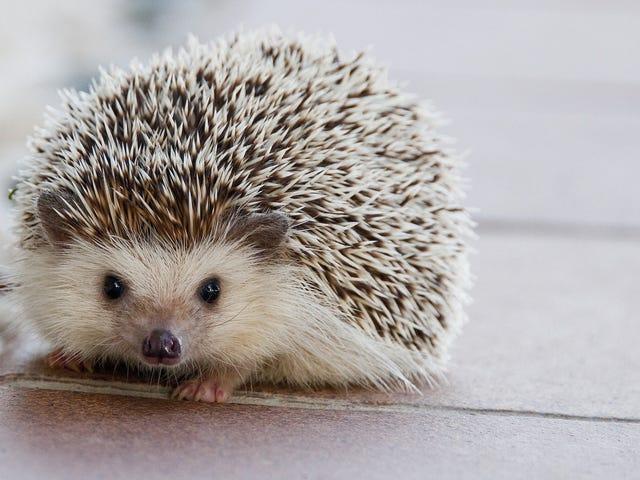 CDC advarer mod kysse, snuggling Pet Hedgehogs Amid Salmonella Outbreak