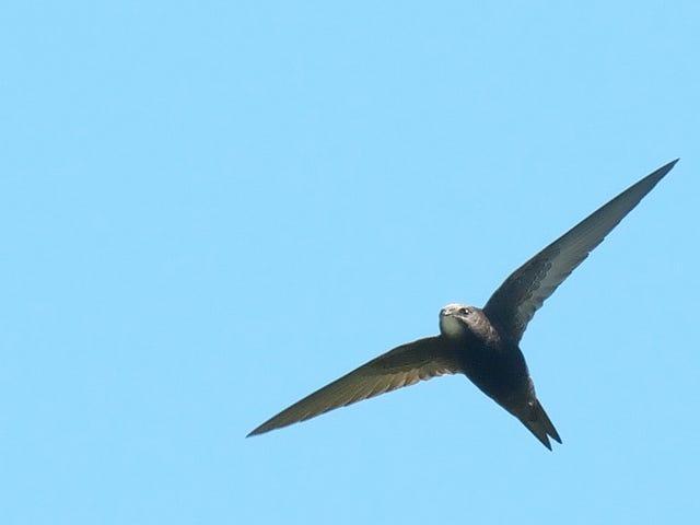 นกน้อยมหัศจรรย์นี้สามารถบินได้นานเกือบหนึ่งปี