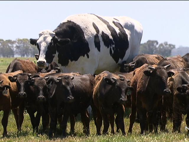 Please Enjoy This Enormous Australian Cow