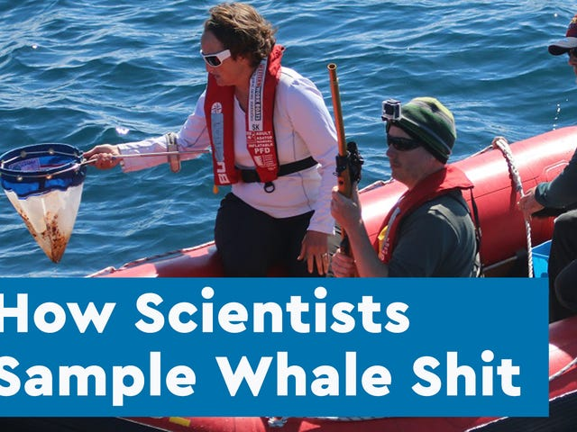 The Scientists Who Spend Their Summers Hunting for Whale Poop