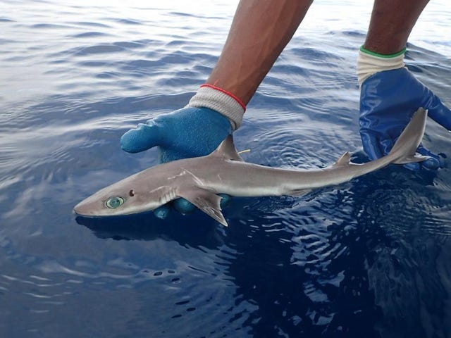 Adorable New Shark Species Named After Trailblazing Marine Biologist Eugenie Clark