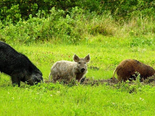 Es ist Zeit, sich der klaren und gegenwärtigen Gefahr von 30-50 Wildschweinen zu stellen