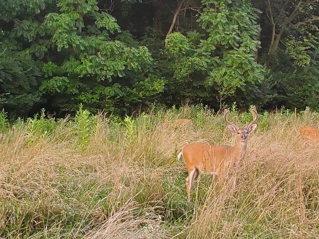 I am the deer whisperer