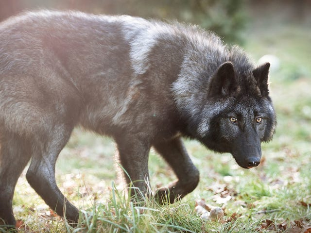 Rancher intentionally puts cattle on den (Update to: Washington State to kill an entire gray wolf pack)