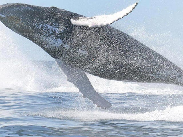 Whales Have Lost the Ability to Taste Anything but Salt