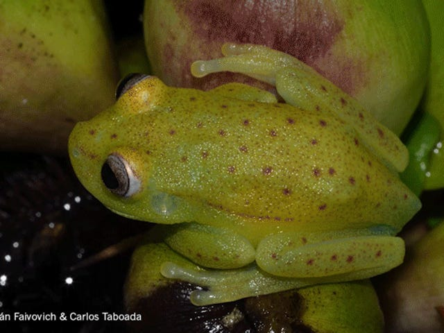 The First Fluorescent Frog Ever Discovered Is Ridiculously Cute