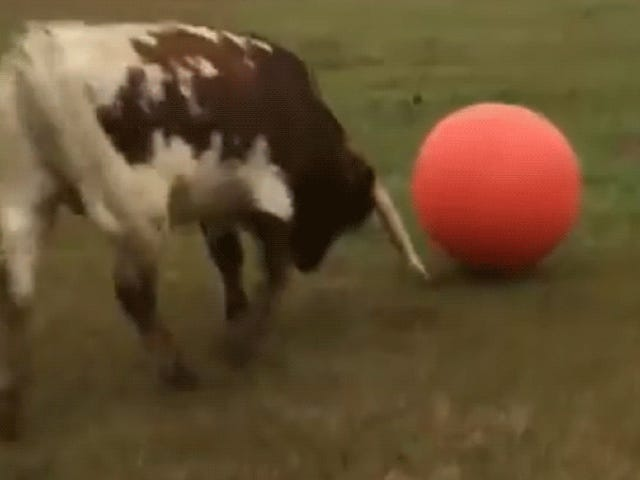 I Wasn't Prepared for the Crushing Melancholy of Watching This Bull Pop His Toy Ball