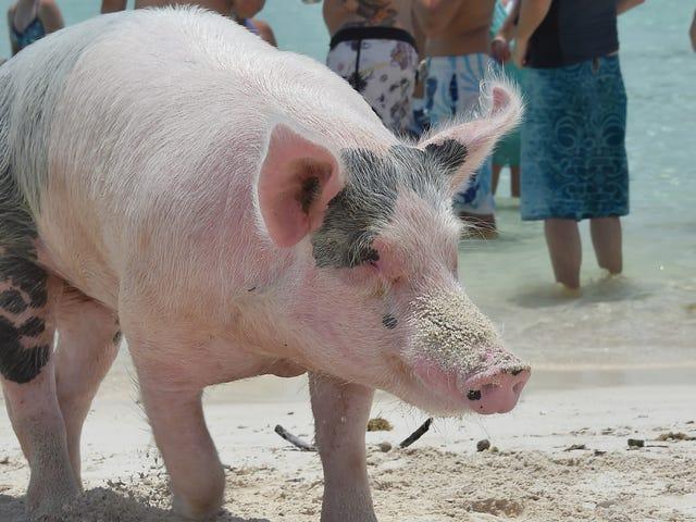 Pig Beach Is Dead