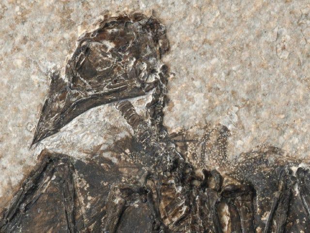 卡通式保存完好的化石是同类中最早的鸟类