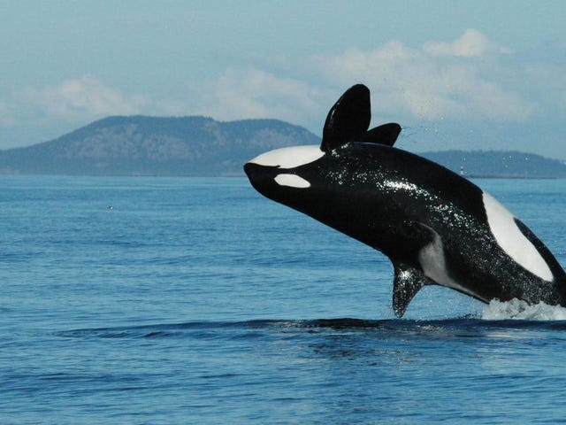 Baby Orcas Are More Likely to Survive if They Live With Their Grandma
