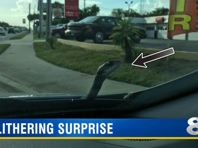 Shockingly Calm Dude Surprised As Six Foot Snake Pops Out Of His Car In Traffic
