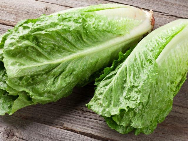 Ludzie, nie jedzcie sałaty rzymskiej