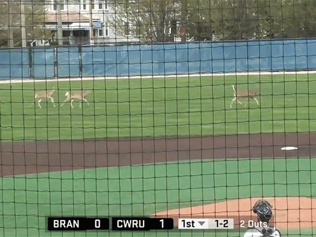 Hjorte tage over college baseball spil