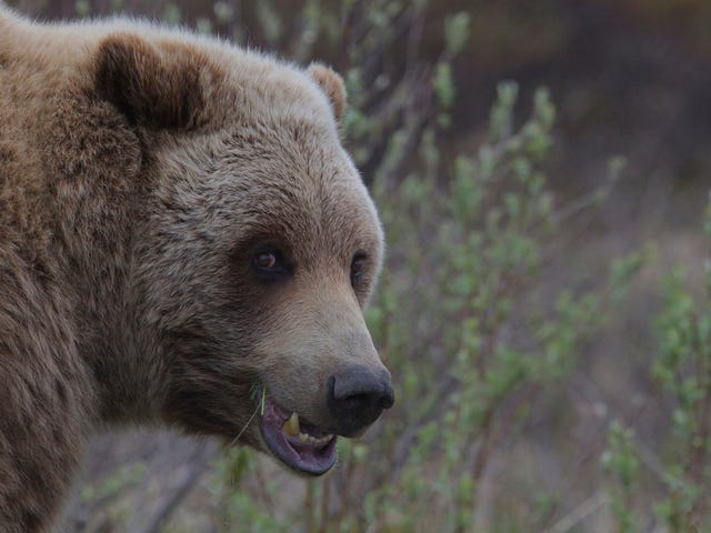 Grizzly Bears' Future May Hinge on This Court Decision