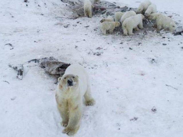 Polar Bears đã xâm chiếm một thị trấn Nga một lần nữa