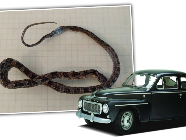 Vintage Volvo Gas Tank Comes With Exciting Bonus Dead Snake