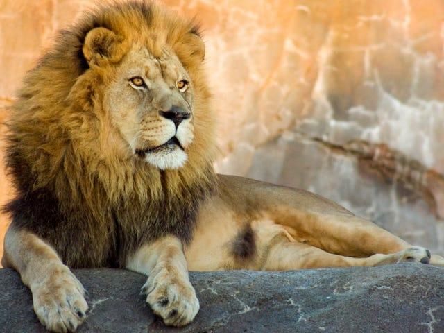कोई भी इस महिला के बारे में पर्याप्त चिंतित नहीं है जो सिर्फ शेर की मांद में टहलता है