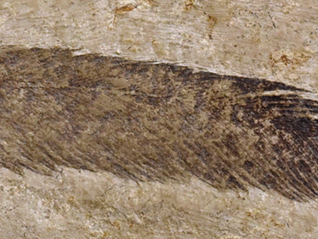 First Dinosaur Feather Ever Discovered Isn't What Scientists Thought