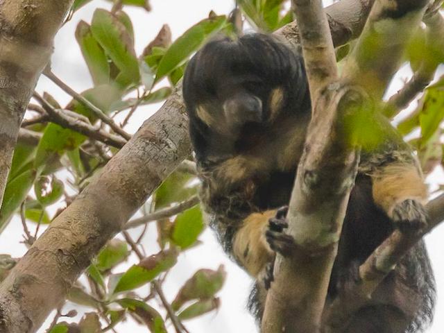 Рідкісна мавпа з моп-верхівкою вперше в Бразилії за 80 років