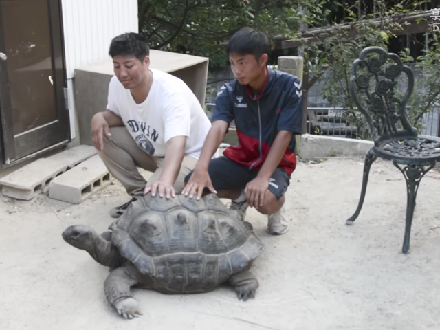Giant Tortoise Apprehended 140 Meters From Zoo Two Weeks After Daring Escape
