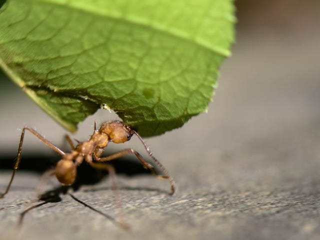 Idiot Moron Lets Himself Get Bitten Repeatedly by a Leafcutter Ant (Warning: Gross)