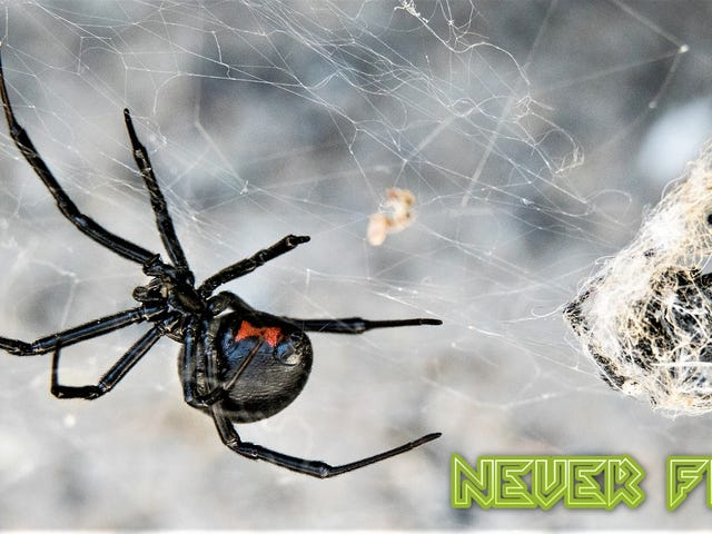 Why You Shouldn't Fear the Black Widow Spider