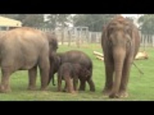 Whipsnade Zoo Has A Baby Elephant With The Tiniest Little Trunk