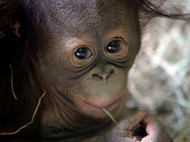 Baby Orangutan Munches Grass, Contemplates The Universe