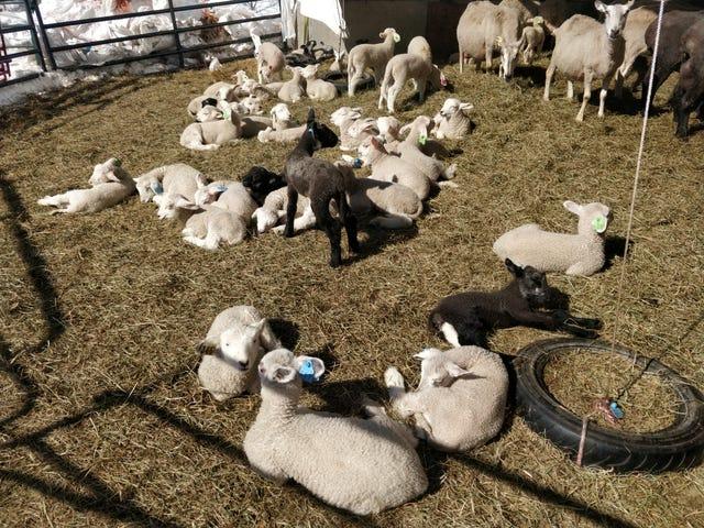 Så många lamm, så lite sömn ...