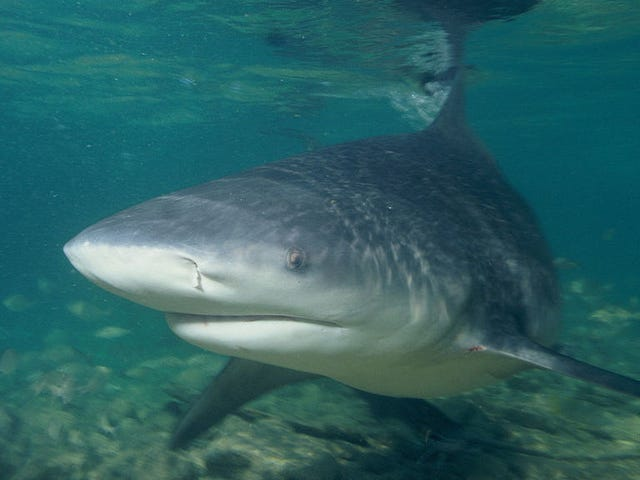 Wildlife Officials Assure Citizens That Alleged Lake Shark Threat Isn't Real [Updated]