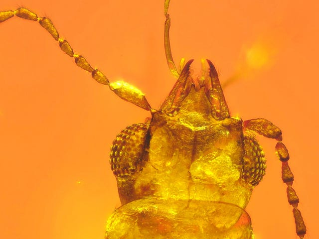 Beetle Trapped in 99-Million-Year-Old Amber Was an Early Pollinator