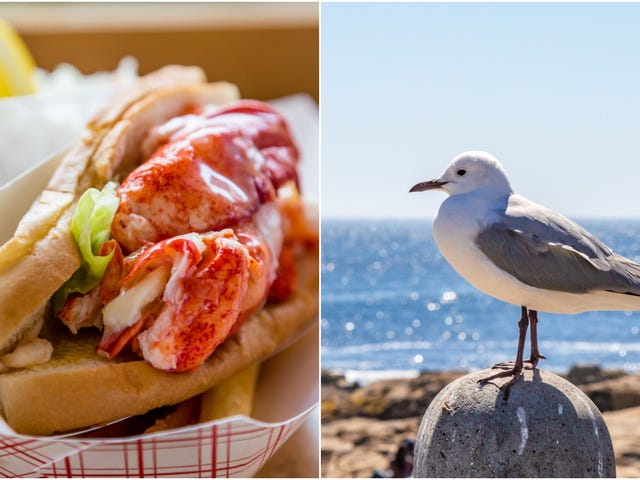 Asshole seagull snatches $21.50 lobster roll