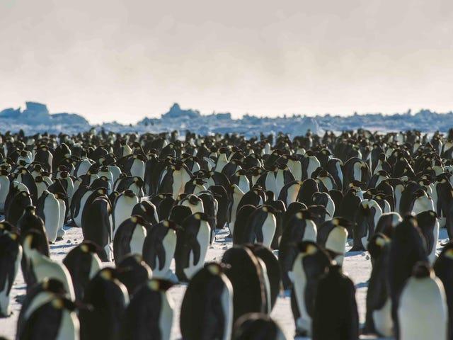 Thất bại trong việc gây giống thảm họa đã phá hủy một thuộc địa chim cánh cụt hoàng đế lớn