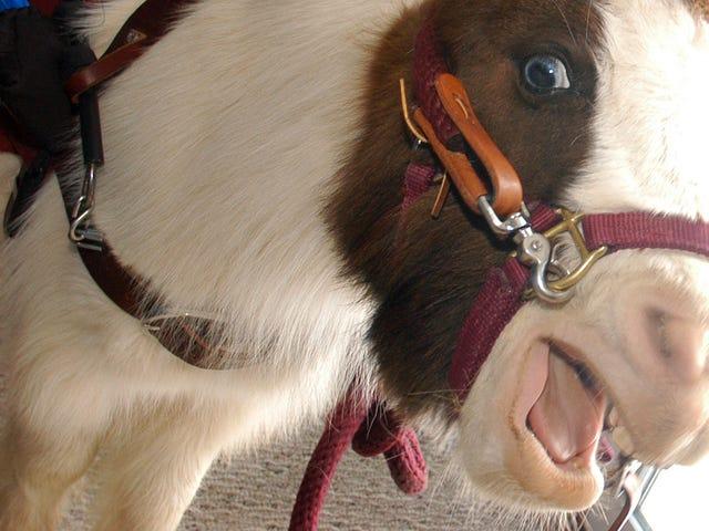 Sabtu Malam Sosial: Semua Orang Bersantai, Mini Kuda Masih Terbang Percuma