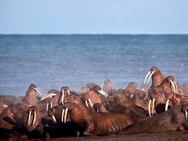 Trumpadministrationen anser Walrus och beslutar att den är fin