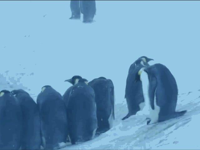 El momento en que el equipo de BBC Earth interviene por primera vez para salvar a una colonia de pingüinos