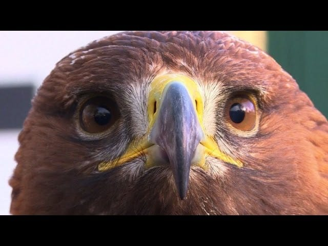 Trained eagles vs. drones
