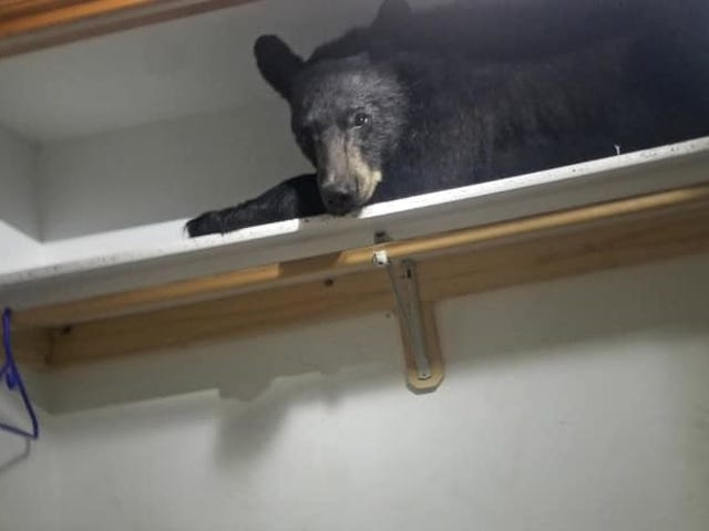 Bear Breaks Into Montana Home, Takes Nap On Shelf