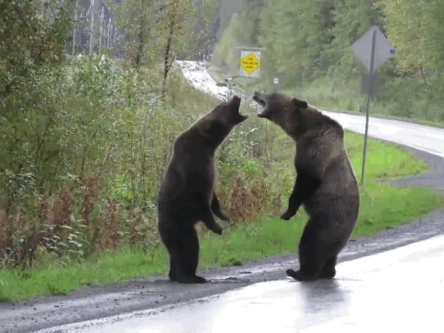 Eine fahrende Frau fängt mitten auf der Straße einen wilden Kampf zwischen zwei Bären ein
